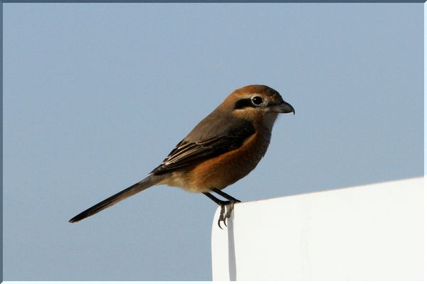 Bullheaded_shrike