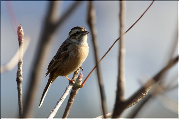 Meadow_bunting